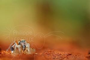 Araignée sauteuse Saitis barbipes avec sa proie