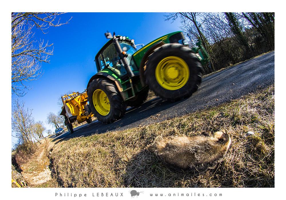 Tracteur passant à côté d'un blaireau mort