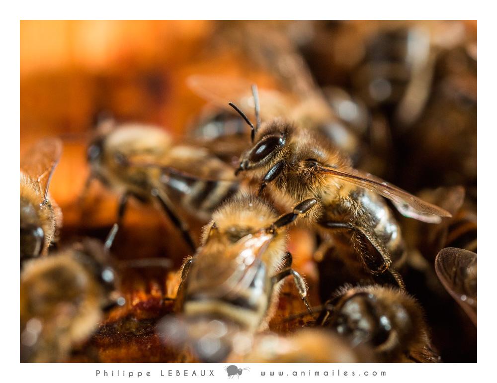 ouvrières dans la ruche