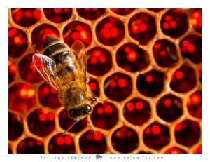 Alvéoles de miel avec ouvrière
