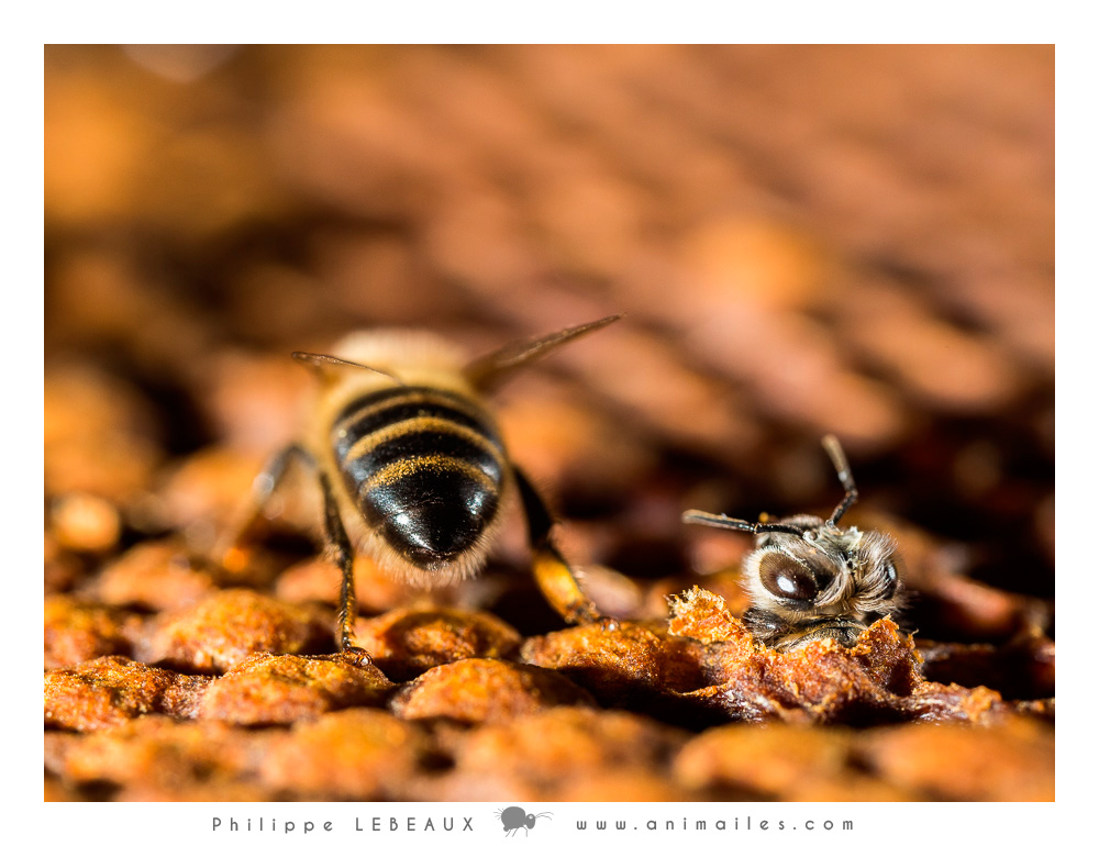 Adulte et et jeune abeille