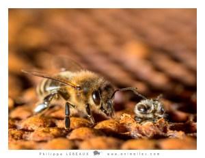 Plan large d'une jeune abeille sortant de son alvéole