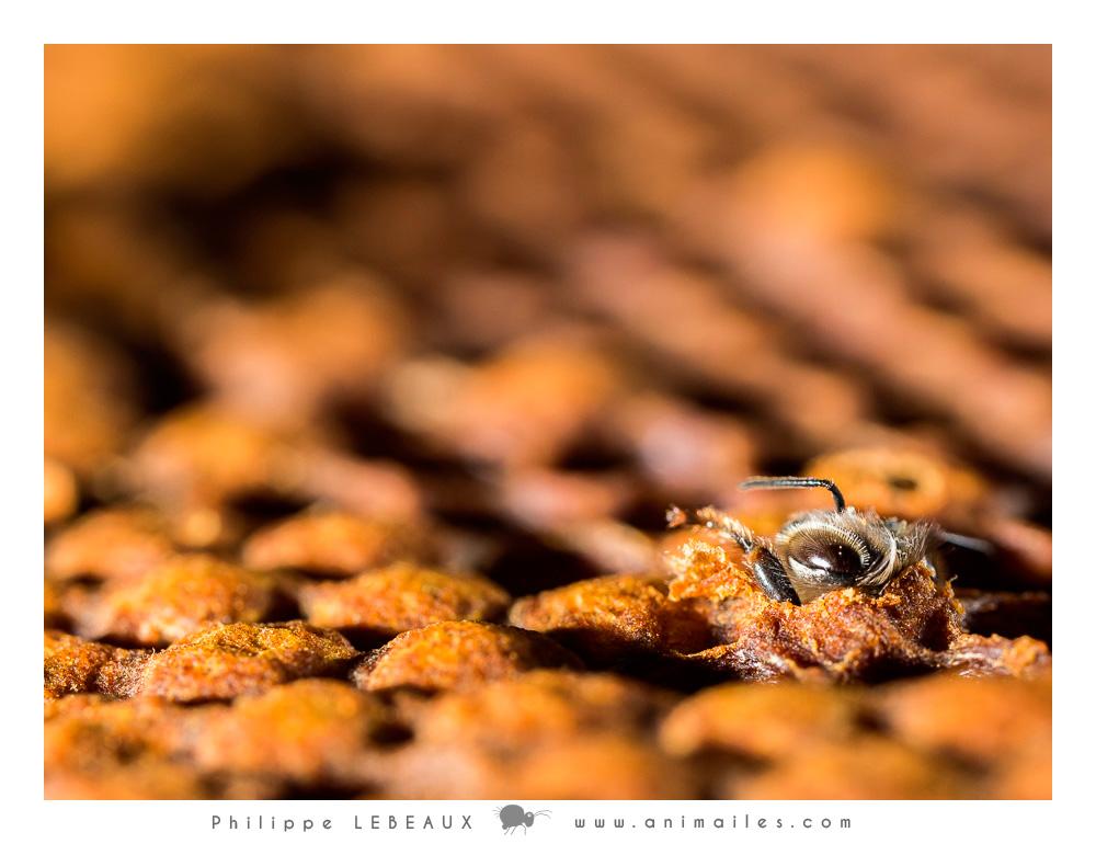 Plan large : Emergence, détail de la tête de la jeune abeille