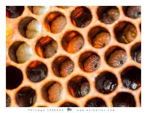 Couvain avec larves d'abeilles