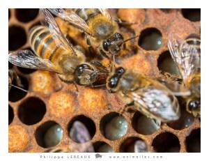 Alvéoles fermées, larves et trophallaxie entre deux abeilles