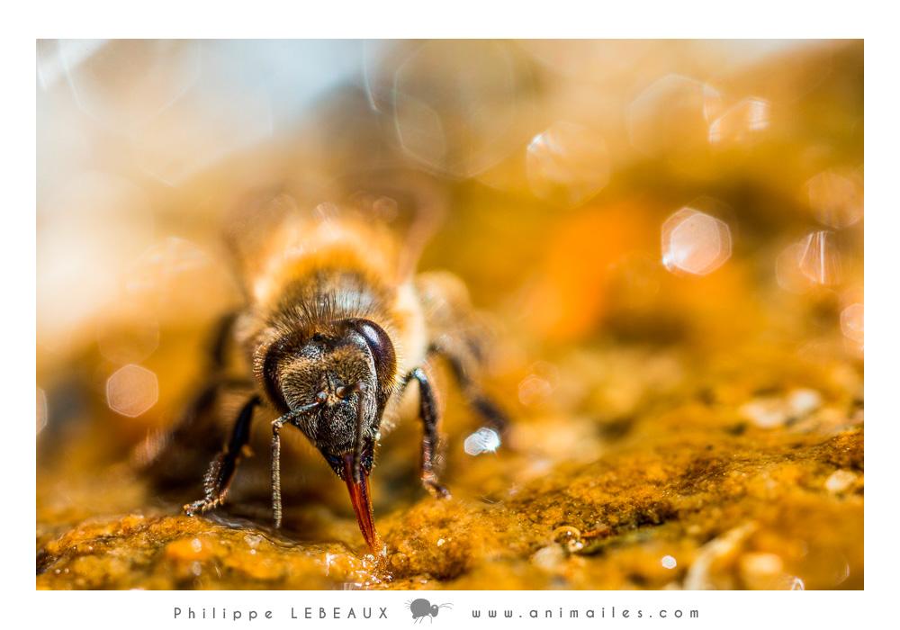 abeille et pièces bucales