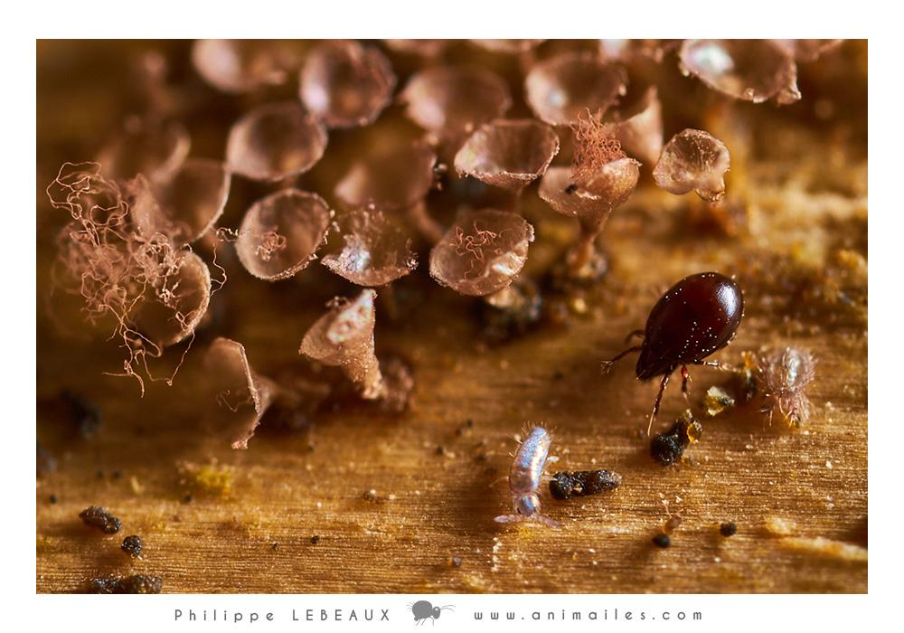 Myxomycètes sp. avec acarien Oribate sp. et collembole