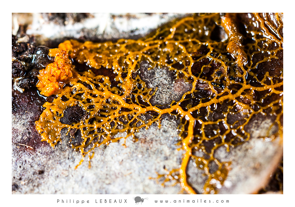 Plasmode de Myxomycète