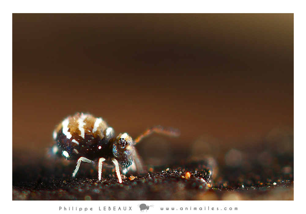 Collembole Fasciosminthurus quinquefasciatus