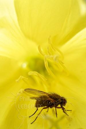 Mouche sp. à l'intérieur d'une fleur jaune