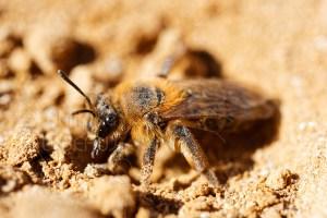 Abeille solitaire - Andrène sp. sur sable