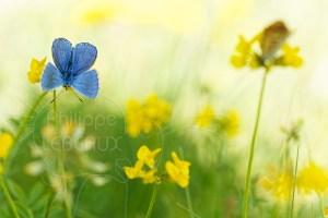 Papillon Argus bleu mâle - Polyommatus icarus sur fleur de Lotier
