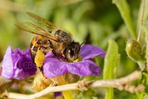 L'abeille italienne - Apis Mellifera Ligustica avec corbeilles de récolte bien chargées