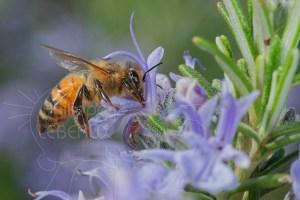 L'abeille italienne - Apis Mellifera Ligustica butinant une fleur de romarin