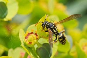 Guêpe sociale - Poliste sp. sur fleur d'Euphorbe