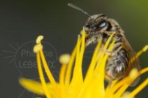 Gros plan sur une abeille sauvage Halictus sp.