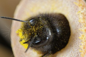 Gros plan Osmie cornue - Osmia cornuta vue avec grains de pollen