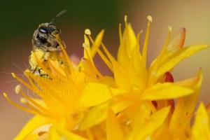 Abeille sauvage Halictus sp. qui collecte une étamine de Sedum