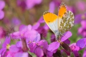 Papillon L'Aurore- Anthocharis cardamines butinant sur des aubriètes
