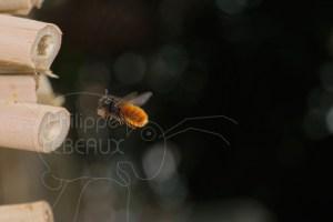 Osmie cornue - Osmia cornuta en vol tenant de la terre dans ses mandibules