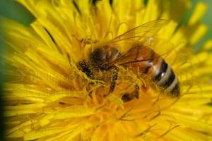 L'abeille italienne - Apis Mellifera Ligustica butinant dans fleur de pissenlit