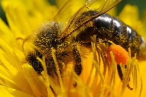 L'abeille noire - Apis Mellifera Mellifera butinant dans fleur de pissenlit