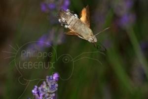 Moro Sphinx - Macroglossum stellatarum figé en vol