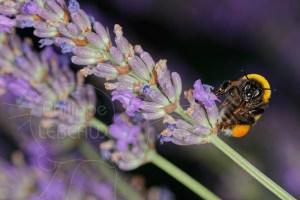 Bourdon terrestre - Bombus terrestris vue de face avec corbeille de récolte