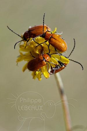 Regrouppement de coléoptères sur une fleur