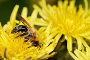 Abeille sauvage - Colletes sp. butinant sur une fleur de pissenlit