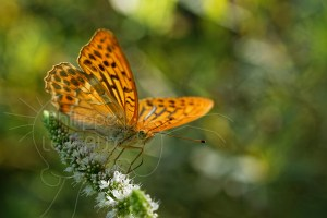 Papillon Tabac d'Espagne - Argynnis paphia butinant une fleur