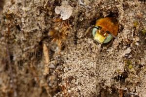 Abeille sauvage - Megachile sp. sortant la tête de son nid
