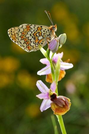 La Mélitée des centaurées - Melitaea phoebe posée sur une orchidée Ophrys Aveyronensis