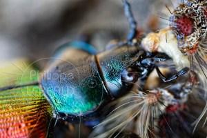 Plan rapproché sur les mandibules d'un Calosoma sycophanta dévorant une chenille de Bombyx disparate