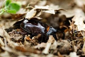 Scarabée rhinocéros européen mâle dans la litière du sol