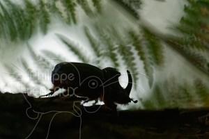 Scarabée rhinocéros européen mâle en contre-jour avec fougères en arrière plan