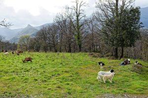 Chevrier se reposant avec ses chiens et son troupeau de chêvres