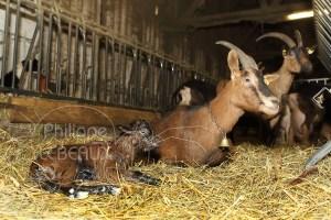 Chèvre et son jeune chevreau au repos dans la chevrerie
