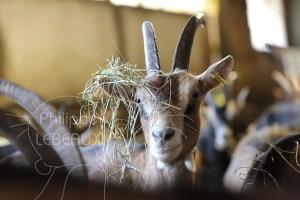 Tête d'une chèvre avec du foin