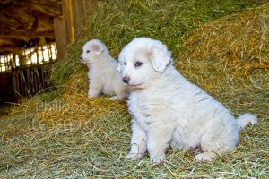 Deux jeunes patou à la ferme