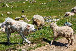 Patou qui aboie après un agneau