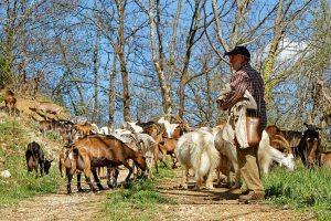Chevrier avec son patou et son troupeau de chêvres