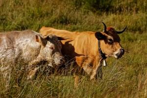 Taureau et vache en plan rapproché photographiés dans une prairie