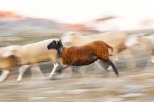 Mouton noir qui court photographié en filé