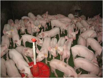 Projet de ferme-usine des 6500 porcs à Escoubès (64) : Animal Cross contribue à l'enquête publique