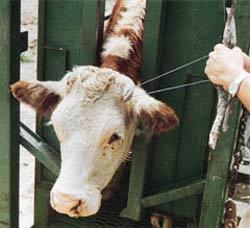 Ecornage des vaches : encore des souffrances causées aux animaux. La loi sur l'anesthésie n'est pas respectée