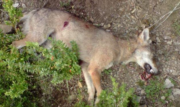 LOUP – Dites NON au projet de destruction de six loups supplémentaires !