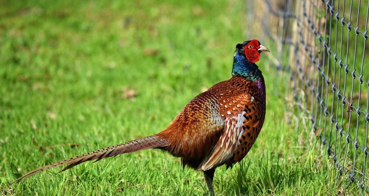 Animaux d'élevage lâchés pour la chasse: la faune sauvage trépasse