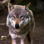 En Haute-Savoie, le préfet autorise les tirs de loups sans que les mesures de protection ne soient réunies. APPEL TEMOIGNER