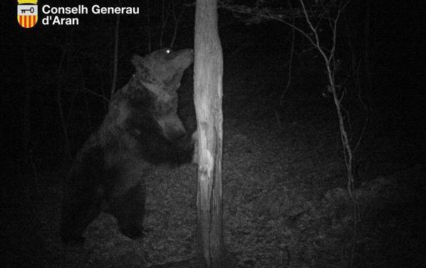 Hautes-Pyrénées : A la demande des associations, le Préfet renonce à l'effarouchement de l'ours Goiat